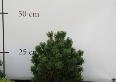 Pinus mugo 'Mops' 30-40