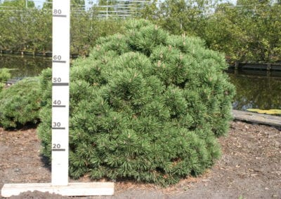 Pinus mugo 'Mops' 80-100 sol