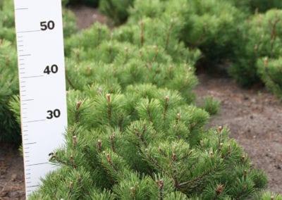 Pinus mugo pumilio 30-40