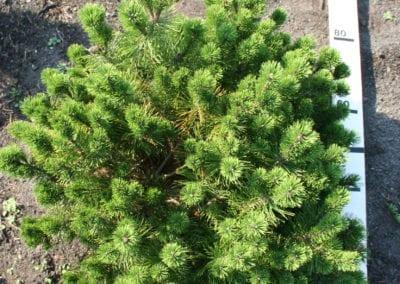 Pinus mugo pumilio 80-100,KL