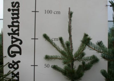 Pinus parv. 'Blue Giant' 80-100