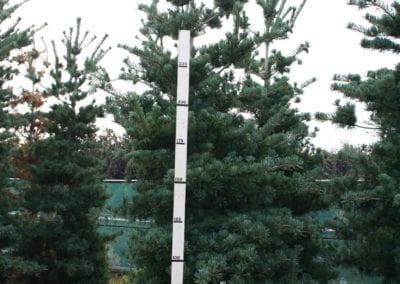 Pinus parv. 'Tempelhof' 300-350 Sol.