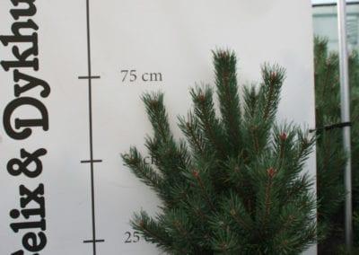 Pinus sylvestris 'Watereri' 70-80