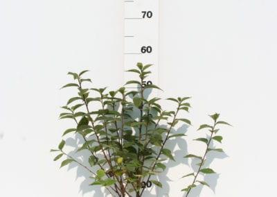Prunus tomentosa 50-60 C2