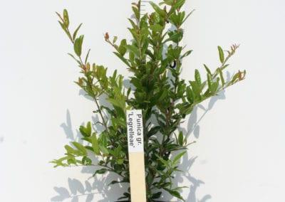 Punica gr. 'Legrelleae' 40-50 C3