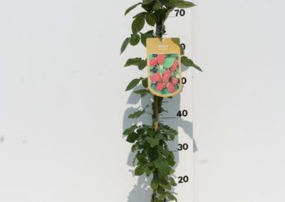 Rubus 'Tayberry' 80C2