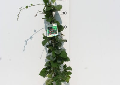 Rubus frut. 'Thornfree' 80 C2