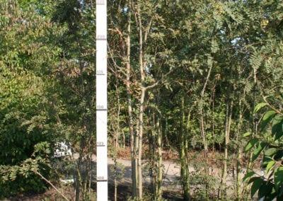Sorbus cashmiriana 300-350KL