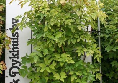 Staphylea pinnata 175-200
