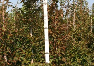 Stewartia pseudocamellia 225-250 Gev