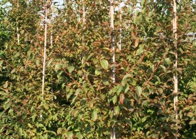 Stewartia pseudocamellia 225-250