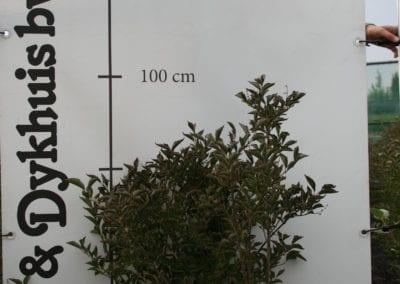 Syringa p. Miss Kim 80-100 breed