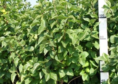 Syringa vulgaris CV 100-125 Sol.