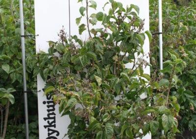 Syringa vulgaris CVS 150-175 Sol.