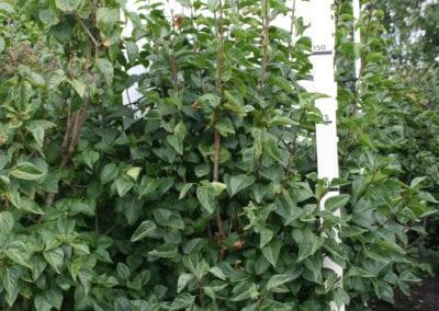 Syringa vulgaris CVS 175-200 Sol.