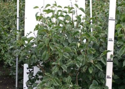 Syringa vulgaris Cult. 175-200 Sol.