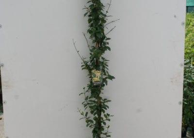 Trachelospermum j. Star of Toscane 180-200 c5