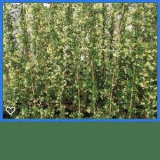 Trachelospermum j. Star of Toscane 180-200