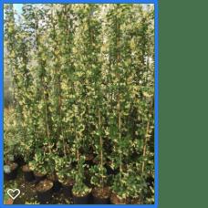 Trachelospermum j. Star of Toscane 2 180-200