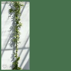 Trachelospermum j. Star of Toscane 3 180-200
