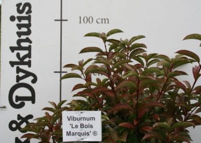 Viburnum 'Le Bois Marquis' 80-100