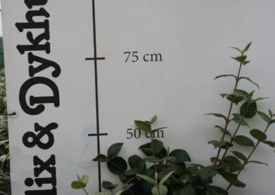 Viburnum carlesii 50-60