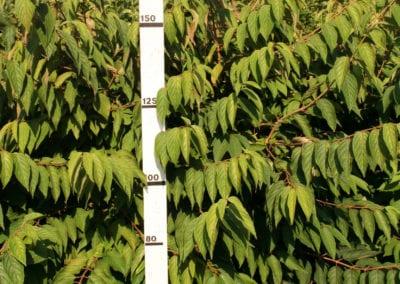Viburnum plic. 'St Keverne' 150-175,KL