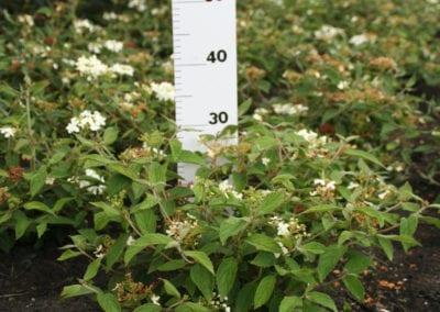 Viburnum plic. 'Summer Snowflake' 25-30