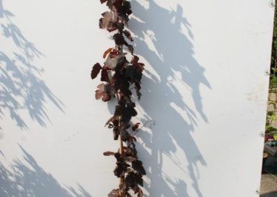 Vitis vinifera 'Purpurea' 180 C2