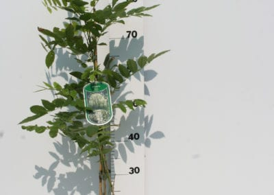 Wisteria flor. 'Alba' 80 C2