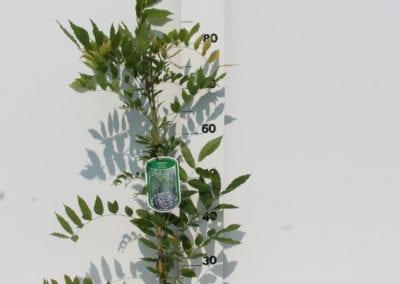 Wisteria flor. 'Issai-naga'  80 C2