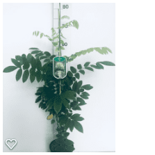 Wisteria sinensis Alba 80c2