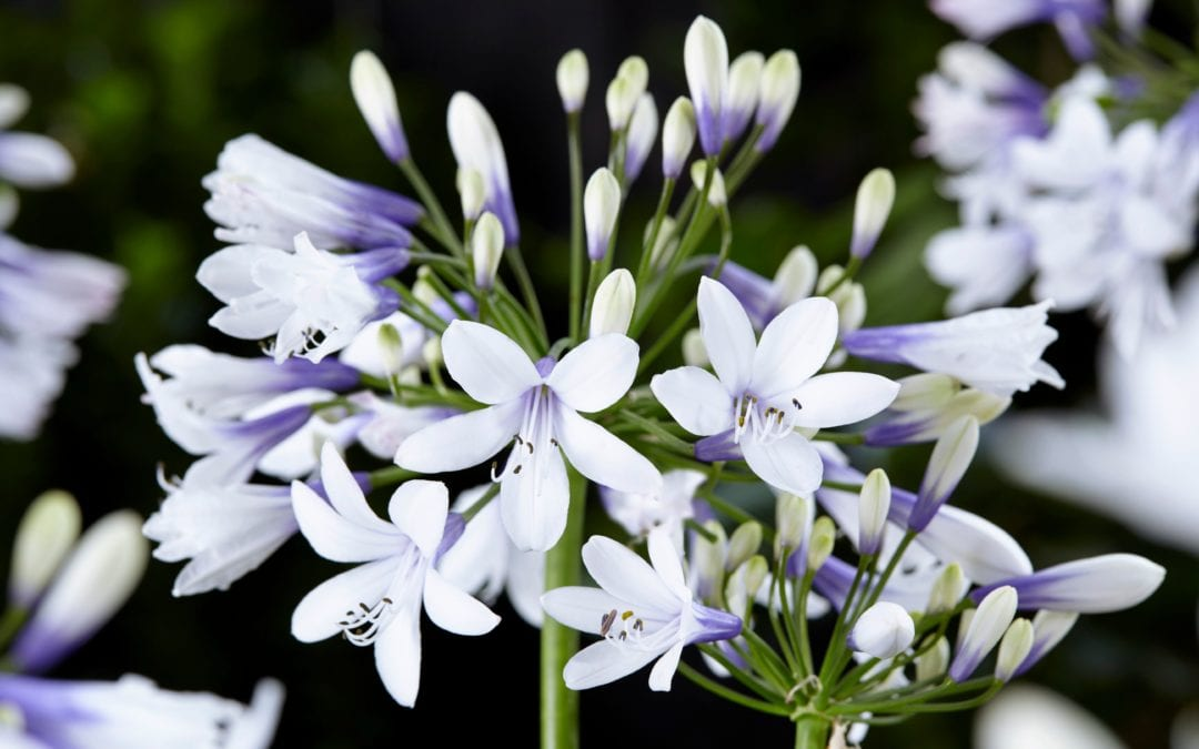 AGAPANTHUS 'Twister' ®
