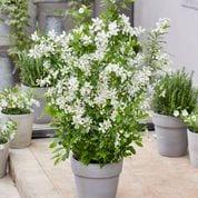 EXOCHORDA racemosa 'Blushing Pearl' ®